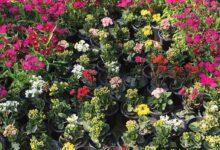 Photo of معرض «زهور الربيع».. من عهد السلطان حسين ومازال إلى الآن