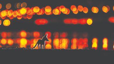 """Photo of إنسان الغاب.. وثعلب العرب.. ورقصة النمل الأبيض مسابقة """"مصور الطبيعة"""" 2021.. يتصدرها الكندي والكويتي والبريطاني"""